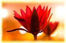 deeya-lotus-1