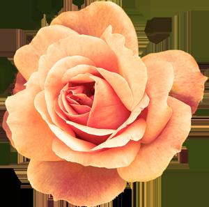 deeya_sacred_rose
