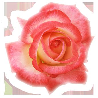 rose-of-devotion