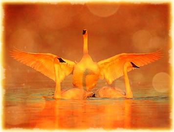swans-image